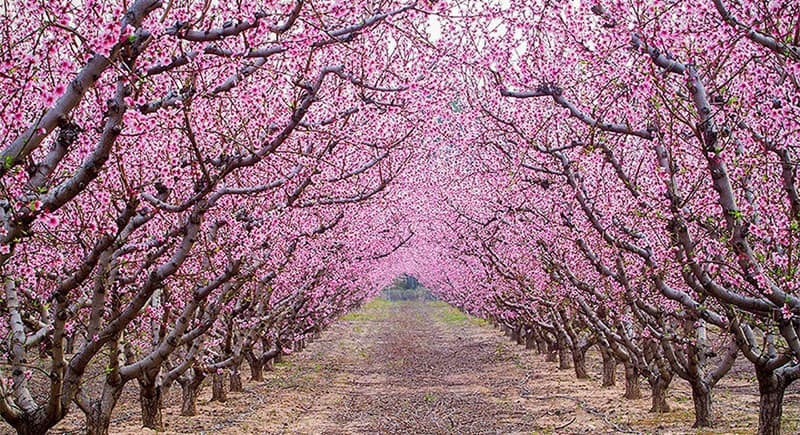 800-Dalat-flowers-peach