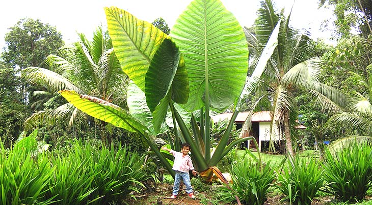 Trees with world's largest leaves in Malaysia - Vietnam visa